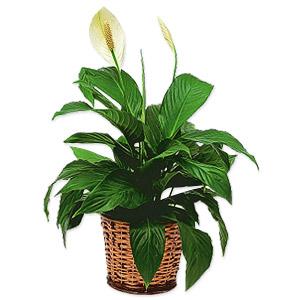 The Pristine Peace Lily