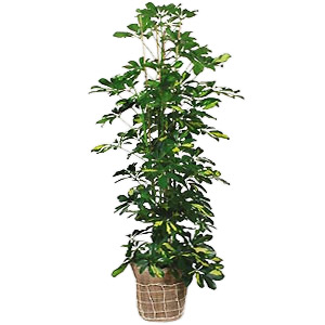 Send This Green Plant To Add Some Natures Touch To A Home Or Office.