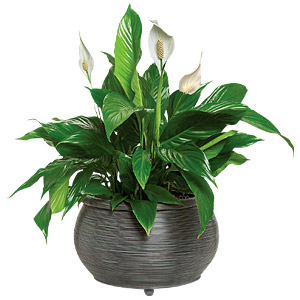 Peace | Plant | Lily
